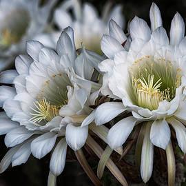 Saija Lehtonen - The Beauty of Cactus Flowers