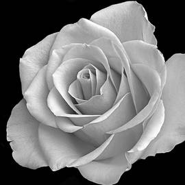 Terence Davis - The Beauty Of Rose.