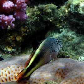 The Blackside Hawkfish Red Sea