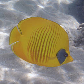 The Bluecheeked Butterflyfish Red Sea