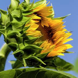 Kathy Clark - The Budding Sunflower