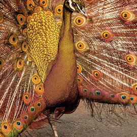 Susan Maxwell Schmidt - The Copper Peacock