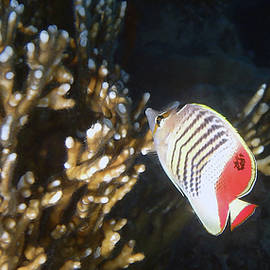 The Crown Butterflyfish Panorama