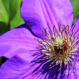 Reid Callaway - The Crown Clematis Flower Art