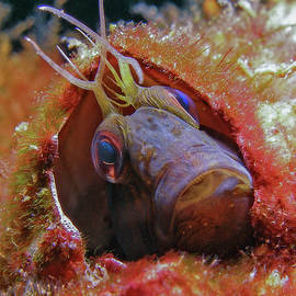 The Curious Face of a Seaweed Blenny