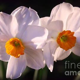 Dora Sofia Caputo Photographic Design and Fine Art -  Daffodils - A Symbol of Spring