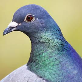 Christophe Fruyt - The dove