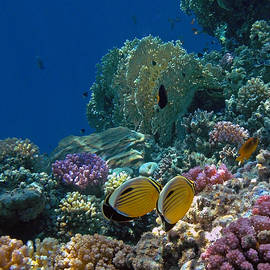 The Elegant Exquisite Butterflyfish Couple