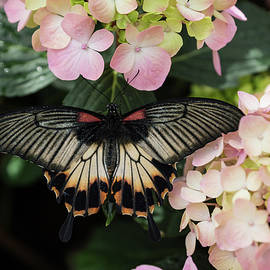 The Enchantment of Butterflies - a Gorgeous Swallowtail Complementing the Hydrangeas by Georgia Mizuleva