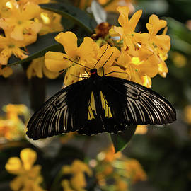 The Enchantment of Butterflies - Yellow Black and Silver Beauty by Georgia Mizuleva