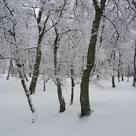 The Forest With Birch Trees In The Winter Wonder Land by Jobie Shen