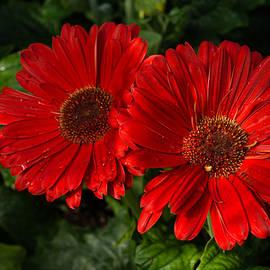 The Glorious Red Duo - Two Scarlet Gerbera Daisies  by Georgia Mizuleva