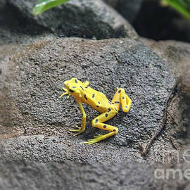 The Golden Frog of Panama by Bob Hislop