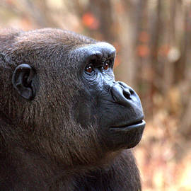 Ruth Jolly - the Gorilla thinks