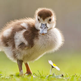 The Gosling and the Flower by Roeselien Raimond