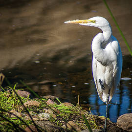 The Great Egret by Donald Pash