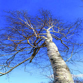 Mike Breau - The Great White Birch