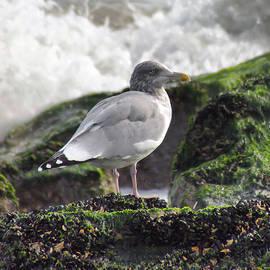The Gull by Thomas  MacPherson Jr