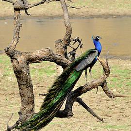 Manjot Singh Sachdeva - The Indian Peafowl