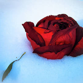 Stacie Adams - The Last Rose