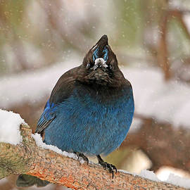 Donna Kennedy - The Mad Blue Jay