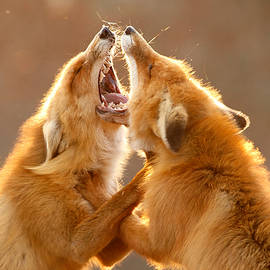 The Meeting _ Red Fox Fight by Roeselien Raimond
