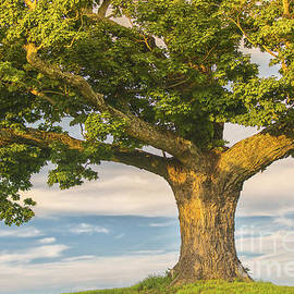 The Mighty Maple by Mary Lou Chmura
