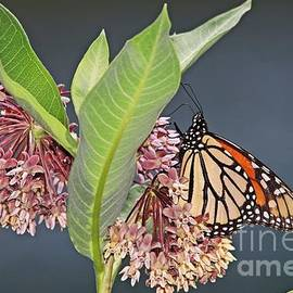 The Monarch Butterflies are Back by Marlin and Laura Hum