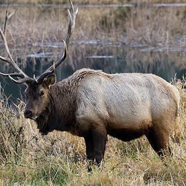 The Old Bull by Steven Clark