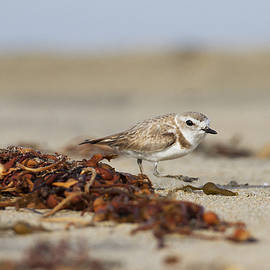 The Plover and the Seaweed by Ruth Jolly