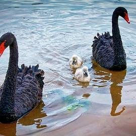 The Protectors, Black Swans and Cygnets by Flying Z Photography by Zayne Diamond