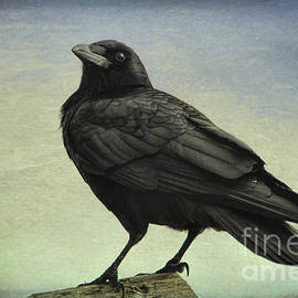 The Raven - 365-9 by Inge Riis McDonald