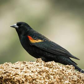 Janice Rae Pariza - The Red-Winged Black Bird