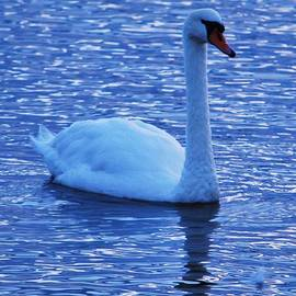 A Regal Swan At Dawn In Bray Ireland by Poet's Eye