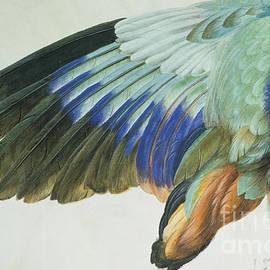 The Right Wing of a Blue Roller - Albrecht Durer