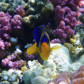 The Royal Angelfish