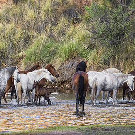 The Salt River Wild Horses  by Saija  Lehtonen