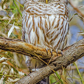 Morris Finkelstein - The Staring Barred Owl