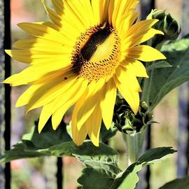 The Sunflower by Diann Fisher