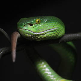 The White-lipped Tree Viper by Michael Symons