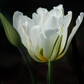 Richard Cummings - The White Tulip