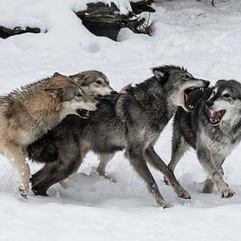 Teresa Wilson - The Wolf Pack