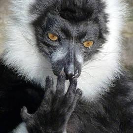 Margaret Saheed - Thinking Black And White Ruffed Lemur