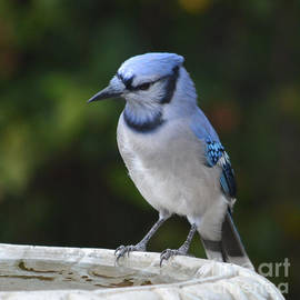 Blue Jay Thinking Things Out  by Ruth  Housley