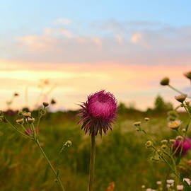 Ally White - Thistle at Sunset