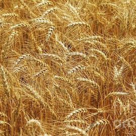 Those Beautiful Waves of Grain by Rachel Cohen