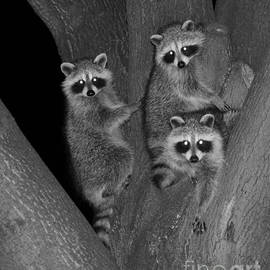 Three Baby Raccoons by Marlin and Laura Hum