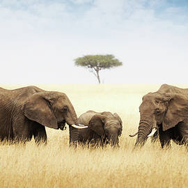 Three elephant in tall grass in Africa - Susan Schmitz