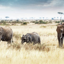 Three Elephants Walking in Kenya Africa - Susan Schmitz