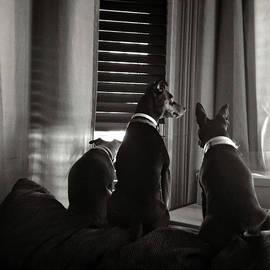 Three Min Pin Dogs by Eduardo Tavares